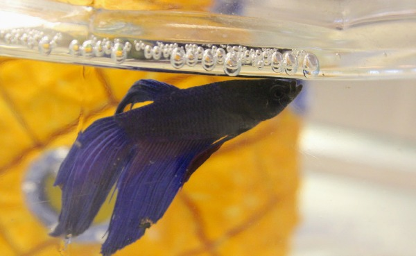 Our newest pet kevin redhead baby mama atlanta blogger for Betta fish bubbles