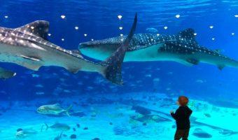 Whale Sharks in the Georgia Aquarium
