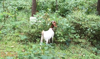 goat land clearing is fun and CUTE!